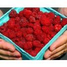 Raspberry - September