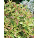 Weigela - My Monet Sunset