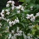 Abelia - Fragrant