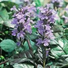 Ajuga - Bronze Beauty