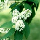 Amur Chokecherry