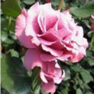Rose - Blushing Knock Out® - Shrub