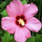 Rose of Sharon - Aphrodite