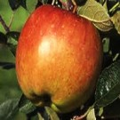 Apple Tree - Braeburn