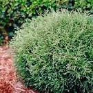 Arborvitae - Mr. Bowling Ball®