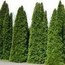 Arborvitae - Pyramidalis