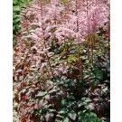 Astilbe - Color Flash