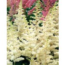 Astilbe - Visions in White