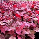 Coral Bells - Autumn Leaves