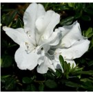 Bloom-A-Thon White Azalea