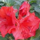Azalea - Crimson Girard