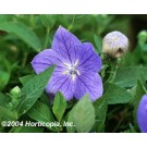 Balloon Flower - Sentimental Blue