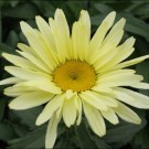 Banana Cream Shasta Daisy