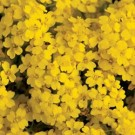 Basket of Gold Alyssum