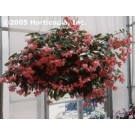 Begonia - Dragon Wing Pink