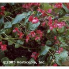 Begonia - Dragon Wing Red
