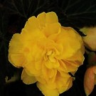 Begonia - Nonstop® Mocca Yellow
