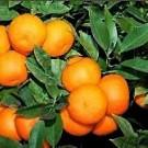 Bergamont Sour Orange