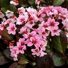 Bergenia - Pink Dragonfly