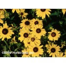 Black-eyed Susan - Viettes Little Suzy