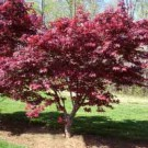 Japanese Maple - Bloodgood
