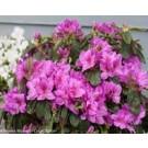 Bloom-A-Thon Lavender Azalea Shrub