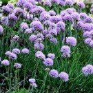 Allium - Blue Eddy