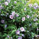 Rose of Sharon - Blue Satin