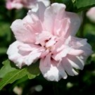 Rose of Sharon - Blushing Bride