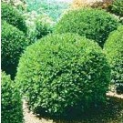Boxwood - Green Velvet