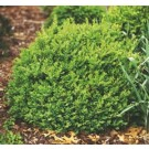 Boxwood - North Star