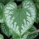 Brunnera - Emerald Mist