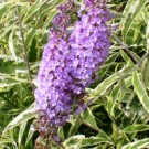 Butterfly Bush - Summer Skies