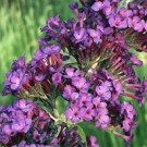Butterfly Bush - Royal Red