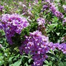 Butteryfly Bush - Lo & Behold® Lilac Chip