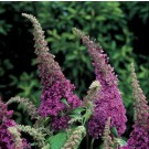 Butterfly Bush - Peacock