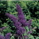 Butterfly Bush - Purple Emperor