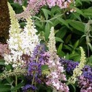 Butterfly Bush - Butterfly Magic™