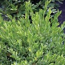 Boxwood - Green Gem®