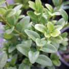 Boxwood - Green Ice