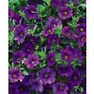 Calibrachoa - Superbells ® Blue