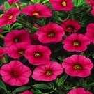 Calibrachoa - Superbells ® Cherry Red