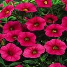 Calibrachoa - Superbells ® Cherry Red