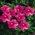Calibrachoa - Superbells ® Pink