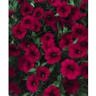 Calibrachoa - Superbells ® Red