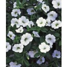 Calibrachoa - Superbells ® White