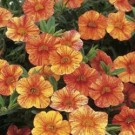 Calibrachoa Superbells® Tequila Sunrise