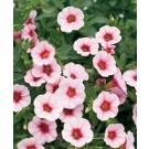 Calibrachoa - Superbells® Cherry Blossom