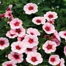 Calibrachoa - Superbells® Cherry Blossom