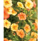 Calibrachoa - Superbells® Dreamsicle
